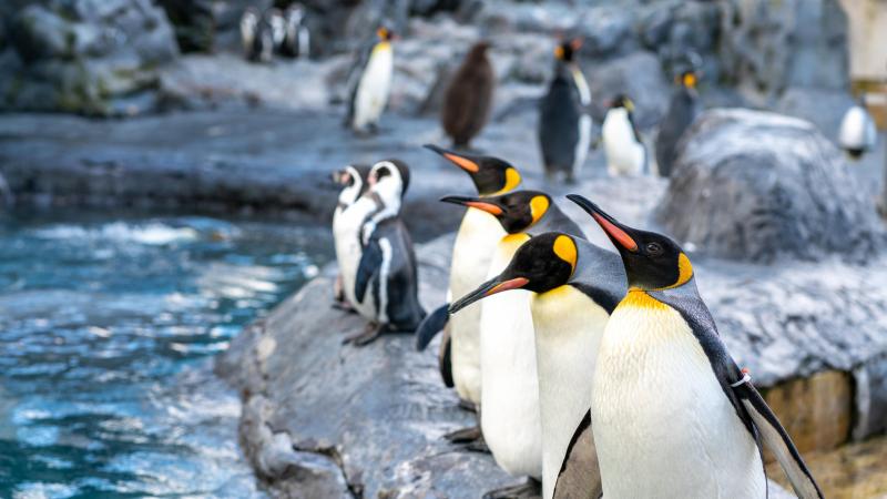 Asahikawa penguins